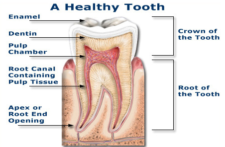 [A Healthy Tooth]